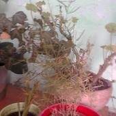 aszparagus