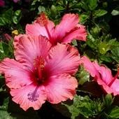 Hibiskus różowy
