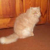 kot Gość