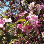 rajska jabłonka w kwieciu