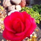 ...ta róża zachwyca mnie nieustannie...