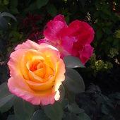 ...tak przebarwia się moja niezwykła róż po kilku dniach...