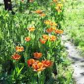 tulipany w paprociach