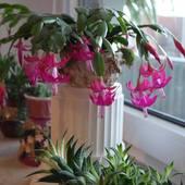 Zygokaktus-kaktusik bożonarodzeniowy