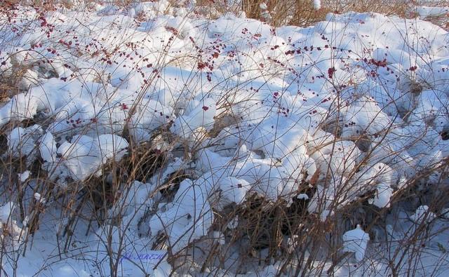 krzewy w śniegu