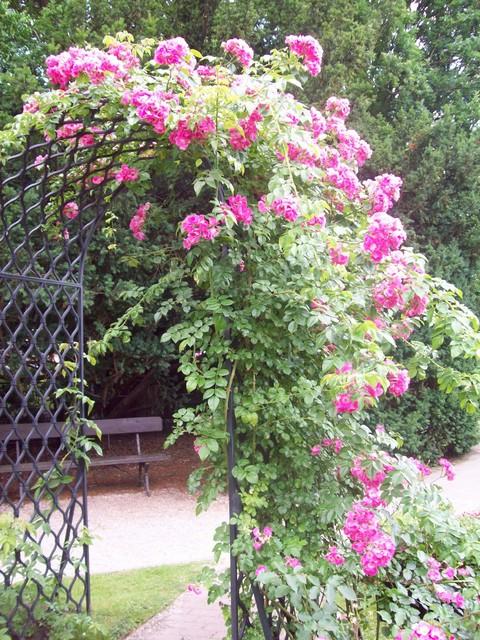 różana pergola
