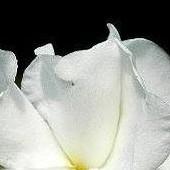 Biała piękność
