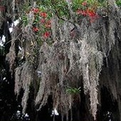 Brodate drzewo