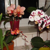 Cambria w towarzystwie phalaenopsisów.
