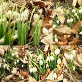 Już kwitną! Dla wszystkich co tęsknili za kwiatami.