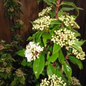 Kalina wawrzynowata (Viburnum tinus)