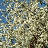 Magnolia wiosną.