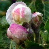 Pączki kwiatów jabłoni