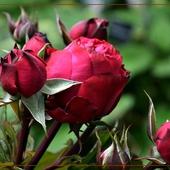 Pączki z różanym nadzieniem...