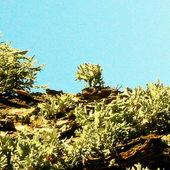 Porosty jak krzewy i drzewka