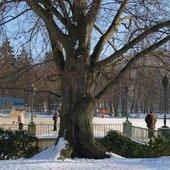 Potężne drzewo