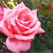 Róża na środę :)