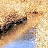 Wiosenna rzeka Czarna z kaczkami