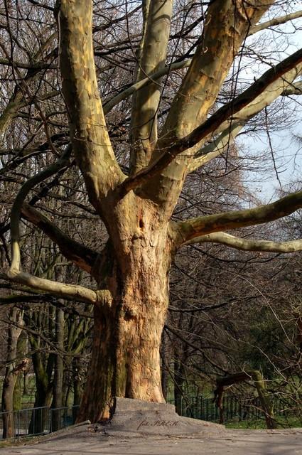 Drzewo w asfalcie