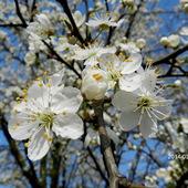 Kwitną drzewa owocowe-Śliwy.