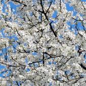 Pięknie kwitnące drzewa owocowe-Śliwa