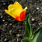 Pierwszy tulipan