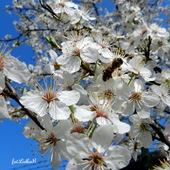 Pszczoła miodna         na kwiatach śliwy.
