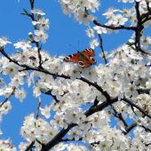 Rusałka pawik na kwiatach śliwy.