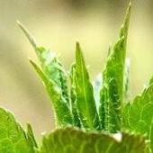 zieleni się, kwitnie