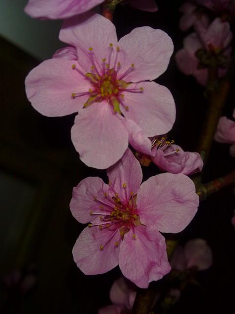 Kwiaty kwitnącej wiśni.