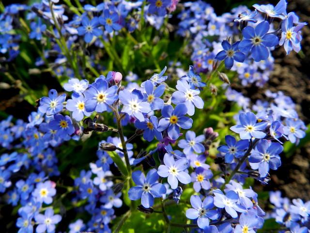 Niezapominajki,kwiaty z bajki.