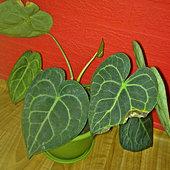 Anthurium clarinervium.