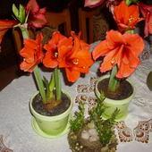 Drugi też czerwony.Pierwszy zaczyna przekwitać.W drugim wypuszcza trzeci pęd kwiatowy.Pozdrawiam :)