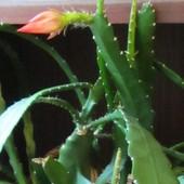 Epiphyllum po zimowym odpoczynku