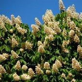 Kasztanowiec, kwiatostan