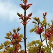 Kwiatostan klonu
