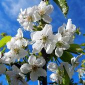 Kwitną drzewa owocowe-Czereśnie .