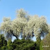 CZEREŚNIA-kwitną drzewa
