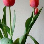 Tulipany 2+1