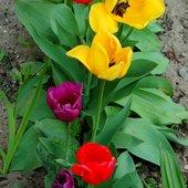 Tulipany na osiedlu