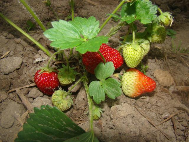 Mam już pierwsze owoce :-)