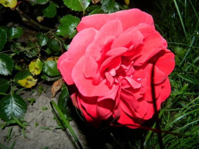 Pierwsza róża...