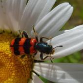 Barciel pszczołowiec:))))