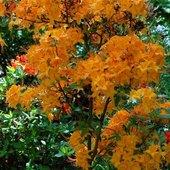 Azalia pomarańczowa