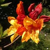 Azalia wielkokwiatowa odm. 'Sunte Nectarine'