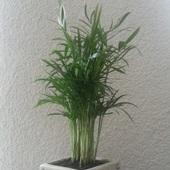 Chamedora wytworna - Palma Koralowa