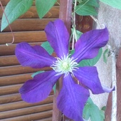 Clematis nr 2