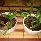 Dendrobium c.d.