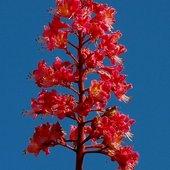 Kasztanowiec czerwony