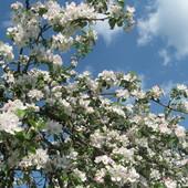 Kwitnąca jabłoń...